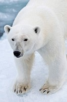 Polar bear (Ursus maritimus) on pack-ice, Spitsbergen, Svalbard Islands, Svalbard and Jan Mayen, Norway