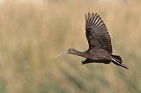 Puna Ibis (Plegadis ridgwayi) in flight in Bolivia, South America.
