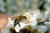 Honey bee (Apis mellifera) collecting pollen, Ukraine, Eastern Europe.