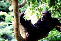 Chimpanzee reclining in branches - Tanzania