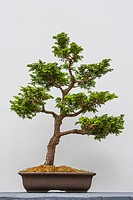 Bonsai cypress tree