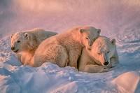 Polar bear with her cubs.