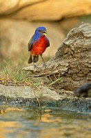 Painted bunting (Passerina ciris), Rio Grande City, Texas, USA.