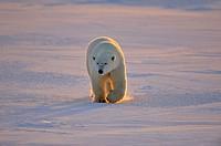 Polar bear (Ursus maritimus), Wapusk NP, Cape Churchill, Manitoba, Canada.