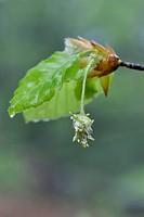 European Beech or Common Beech (Fagus sylvatica), flower, Emsland, Lower Saxony, Germany