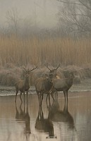 Red Deer (Cervus elaphus) in the morning fog, Lobau, Donau-Auen National Park, Schönau, Lower Austria, Austria