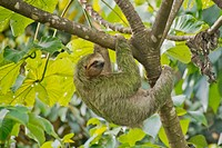 Pale-throated Sloth, Bradypus tridactylus, Three-toed Sloth, Tropical Rainforest, Marino Ballena National Park, Uvita de Osa, Puntarenas, Costa Rica, ...