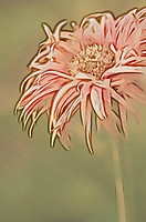 Gerbera Daisy Flower Sketch