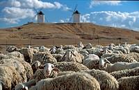 Flock of sheep in a Castilian landscape with two windmills, Castilla-La Mancha, Spain