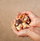 Close up of hands holding collected sea shells, Nature Valley Beach, Crags, Garden Route, South Africa.