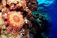 Crown-of-thorns starfish eating corals on Saint John´s reef, south of Egypt. Acanthaster planci.