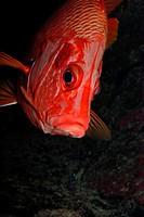 Giant squirrelfish close-up in red sea. Sargocentron spiniferum.