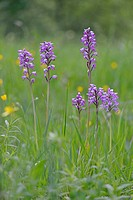 Military Orchid (Orchis militaris), Baden-Württemberg, Germany