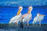 Pinkbacked pelicans at Lake Naivasha, Kenya.