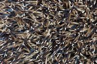 common hedgehog, detail, Erinaceus europaeus, European hedgehog, wood, hedgehog, macro, close-up, Switzerland, stings, prickles, brown,