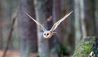 Barn Owl (Tyto alba), adult flying in Beech forest. Germany