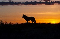 Coyote at sunset.