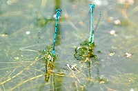 Azure damselflies are seen during a copulation at the area of the natural heritage Mokrad u Rondelu, Havirov, Czech Republic, June 10, 2014. (CTK Phot...