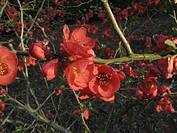 Chaenomeles spec. (Chaenomeles x superba Elly Mossel, Chaenomeles superba Elly Mossel, Chaenomeles Elly Mossel), blooming branch