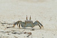 ghost crab, fiddler crab (Ocypodidae), running on the beach, Seychelles, Bird Island