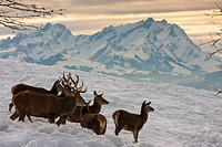 red deer (Cervus elaphus), herd of red deers standing in the snow in front of a mountain backdrop, Austria, Voralberg, Bregenz