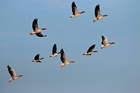 greylag goose (Anser anser), flying flock together with a white-fronted goose, Germany, Brandenburg