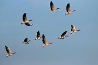 greylag goose (Anser anser), flying flock together with a white-fronted goose, Germany, Brandenburg