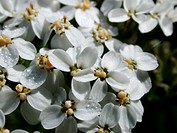 common yarrow, milfoil (Achillea millefolium), flowers