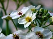 sea-kale, sea kale (Crambe maritima), flowers