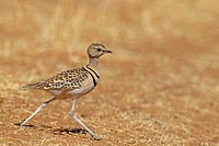 two-banded courser (Rhinoptilus africanus), running , South Africa, Barberspan Bird Sanctury