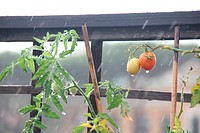tomato plant in garden with heavy rain falling in rome italy