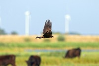 Western Marsh Harrier (Circus aeruginosus), female flying over a cattle herding, Germany, Fehmarn, NSG Wallnau