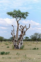 Africa, Namibia, Etosha National park, baobab tree, Adansonia