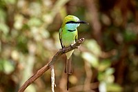 Little green bee eater (Merops orientalis), on a branch, Sri Lanka