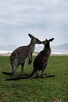 Kangaroos, Sydney, Australia