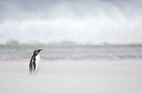 gentoo penguin (Pygoscelis papua), Commuting between the ocean and the rookery Penguins cross the sandy beach. On stormy days the sand is whirled up, ...