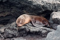 Fur seal pup resting on rock, Puerto Egas, Santiago Island, Galapagos Islands, Ecuador