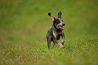 Blue tick, hound, hunting dog, Pennsylvania, USA
