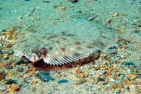 Mimetic plaice lying on the sea florr in Brittany, France. Pleuronectes platessa.