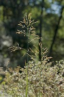 Reed Mannagrass, Glyceria maxima / Wasser-Schwaden, Glyceria maxima