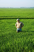 Agriculture - A farmer (grower) walks through his field inspecting his mid growth rice crop at the early head formation stage / Arkansas, USA.