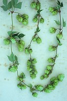 Three stems of fresh green Hop or Humulus lupulus with leaves and scaly fruits developing lying on antique paper