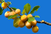 Ripe Yellow Plums Hanging on the Branch Isolated on Blue Background.