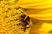 carder bee, common carder bee (Bombus pascuorum, Bombus agrorum), single animal on a sunflower, Germany, North Rhine-Westphalia