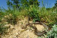 Large Whip Snake, Caspian whipsnake (Dolichophis caspius, Coluber caspius, Hierophis caspius), in habitat, Bulgaria