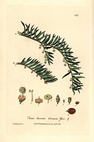 Common yew tree, Taxus baccata. Handcoloured copperplate drawn and engraved by Charles Mathews from William Baxter's British Phaenogamous Botany 1837....