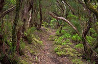 Spain, Canary Islands, Tenerife, laurel forest in the Anaga mountains on the north east coast