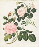 Queen rose, Rosa regina rubicans, and moss rose, Rosa muscosa major. Handcoloured copperplate engraving from an illustration drawn from nature by Star...