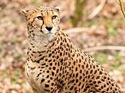 A north African male cheetah, Acinonyx jubatus hecki