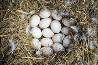 Nest made of straw filled with domestic duck eggs on Free-Range poultry farm, La Creuse, Limousin, France.